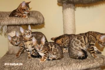 Налични бенгалски котенца