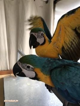 Синя и златна ара