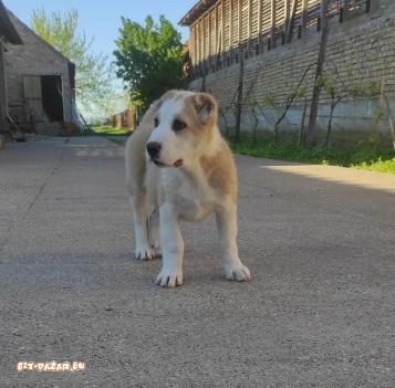 Кученца от средноазиатска овчарка
